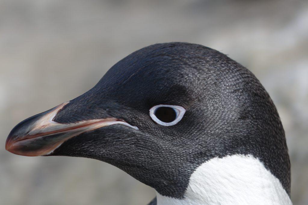 Pingwin Adeli