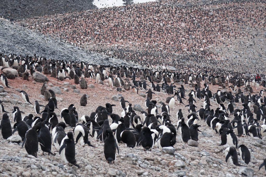 kolonia pingwinów Adeli